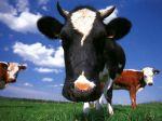 Waarheid als een koe